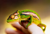 Close-up of a hand holding a relaxed looking Cape Dwarf chameleon.