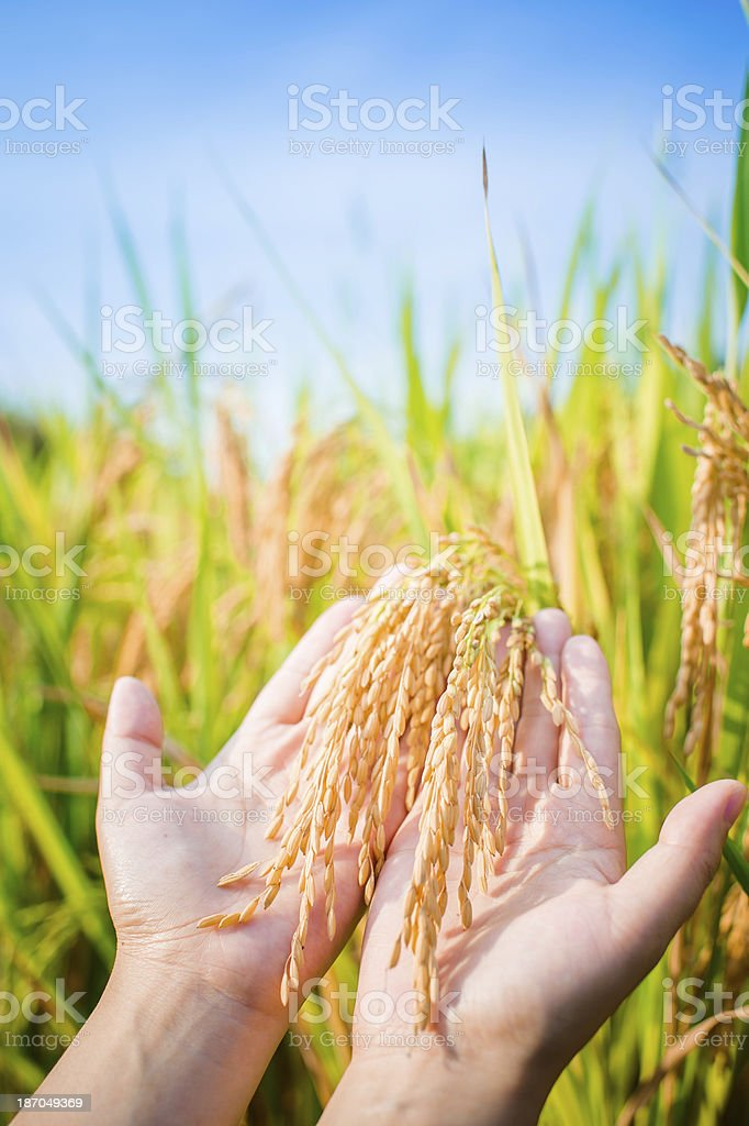 Close-up of Hand Holding Rice Crop royalty-free stock photo