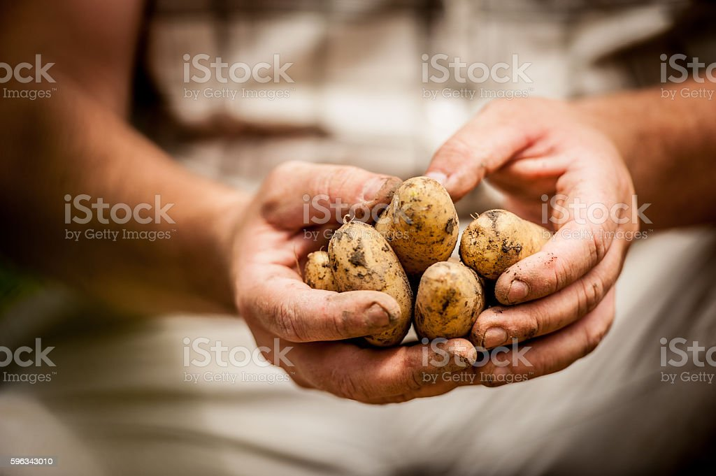 Close-up of Hands Holding Potatoe royalty-free stock photo