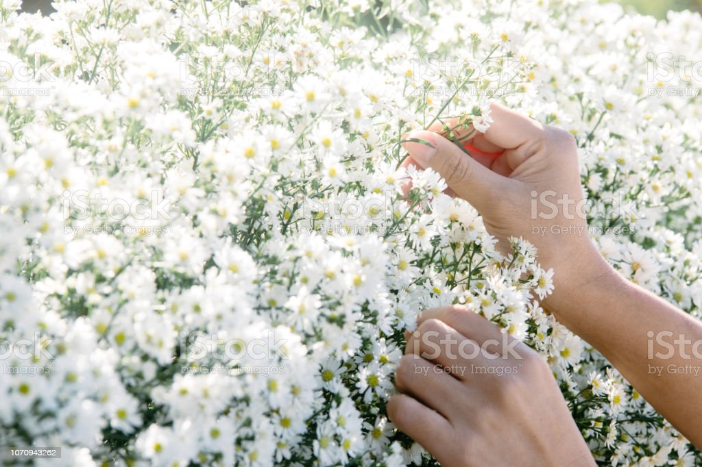 Closeup of hands of young woman decorating white flowers стоковое фото