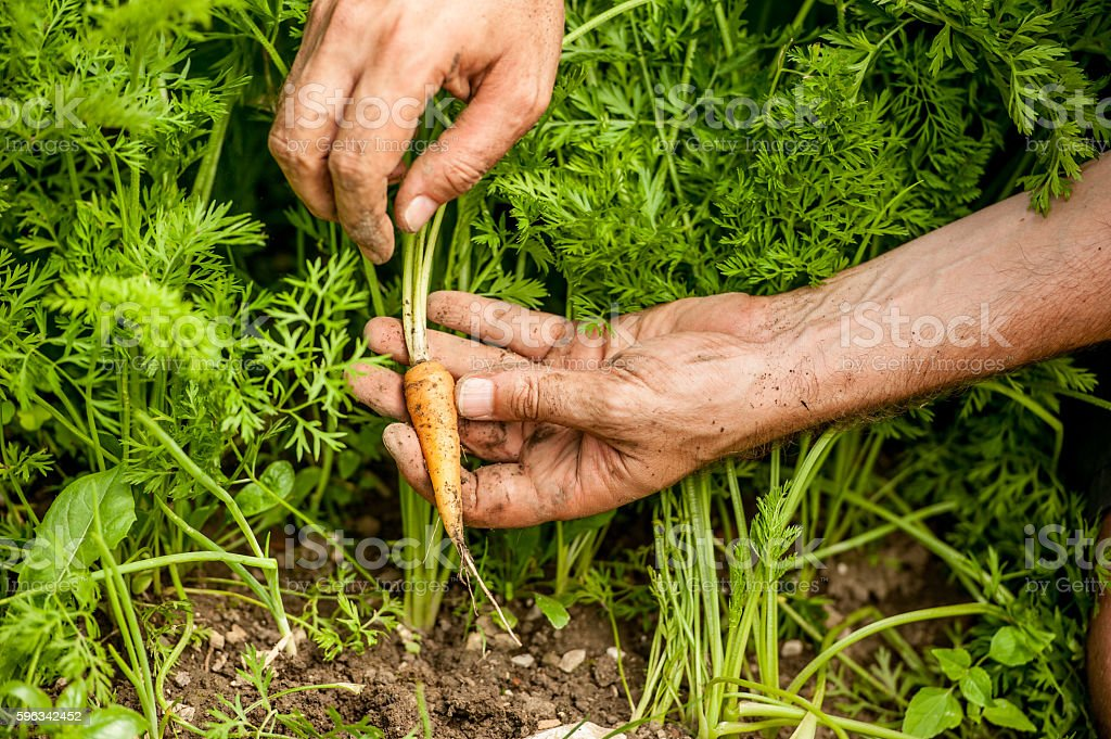 Close-Up of Hands Picking Up Carrot royalty-free stock photo