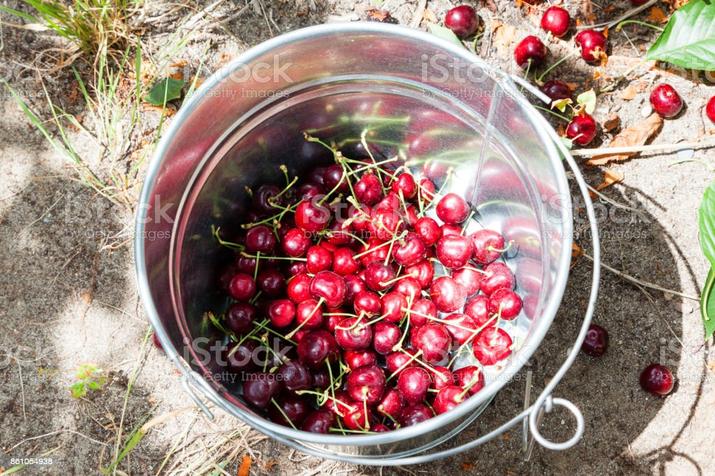 Close-up of Harvested Cherries in Pail stock photo