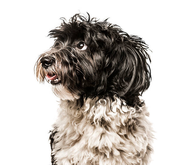 close-up of havanese looking away from camera, isolated on white - havaneser in not stock-fotos und bilder