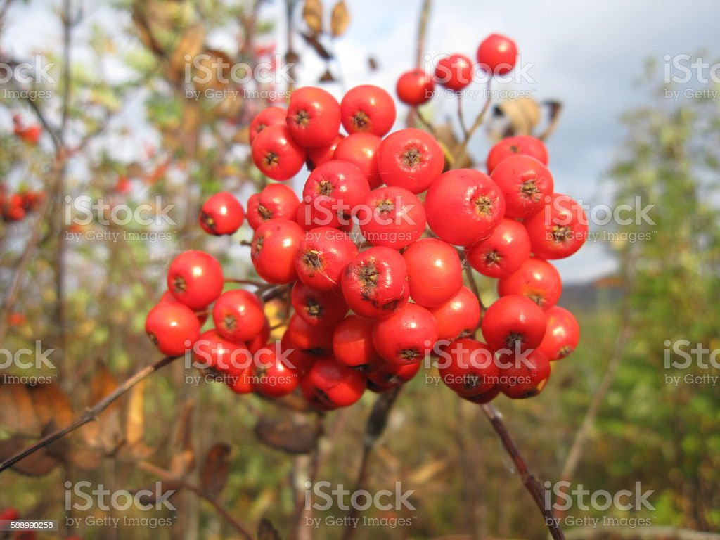 Close-up of Hawthorn Berries stock photo
