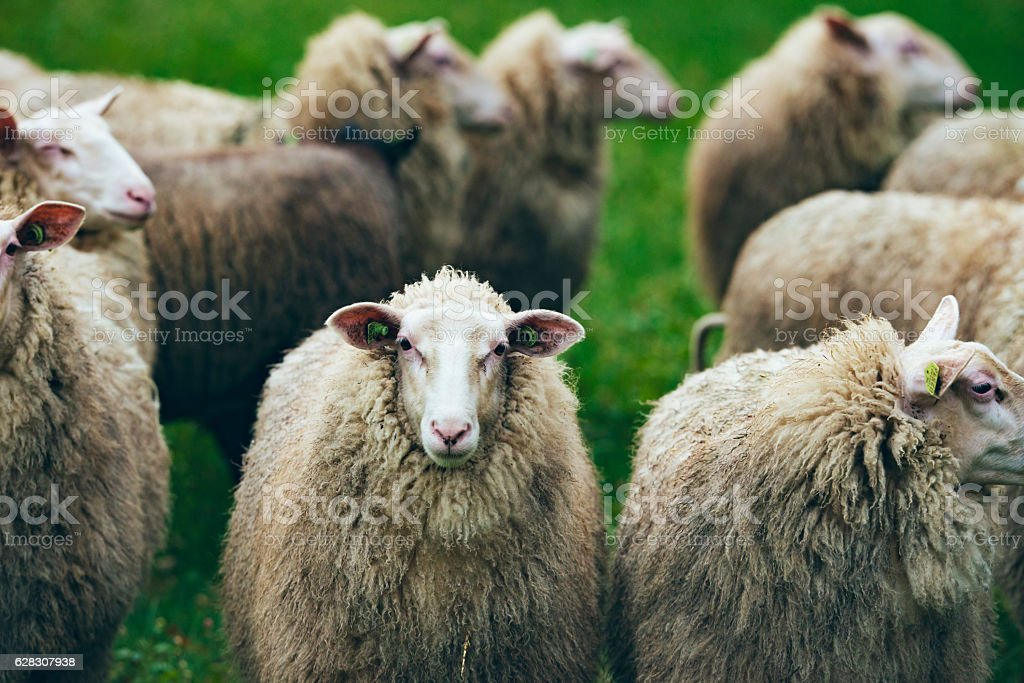 Close-up of herd of sheep looking towards camera. stock photo