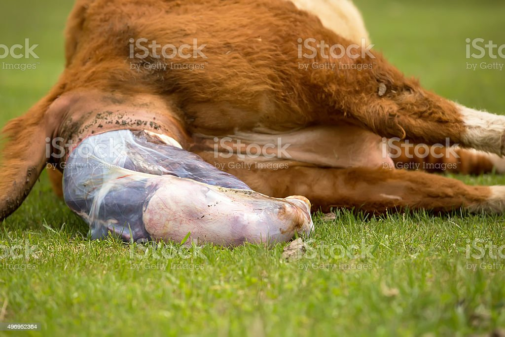 Close-Up of Hereford Cow Giving Birth To Calf stock photo