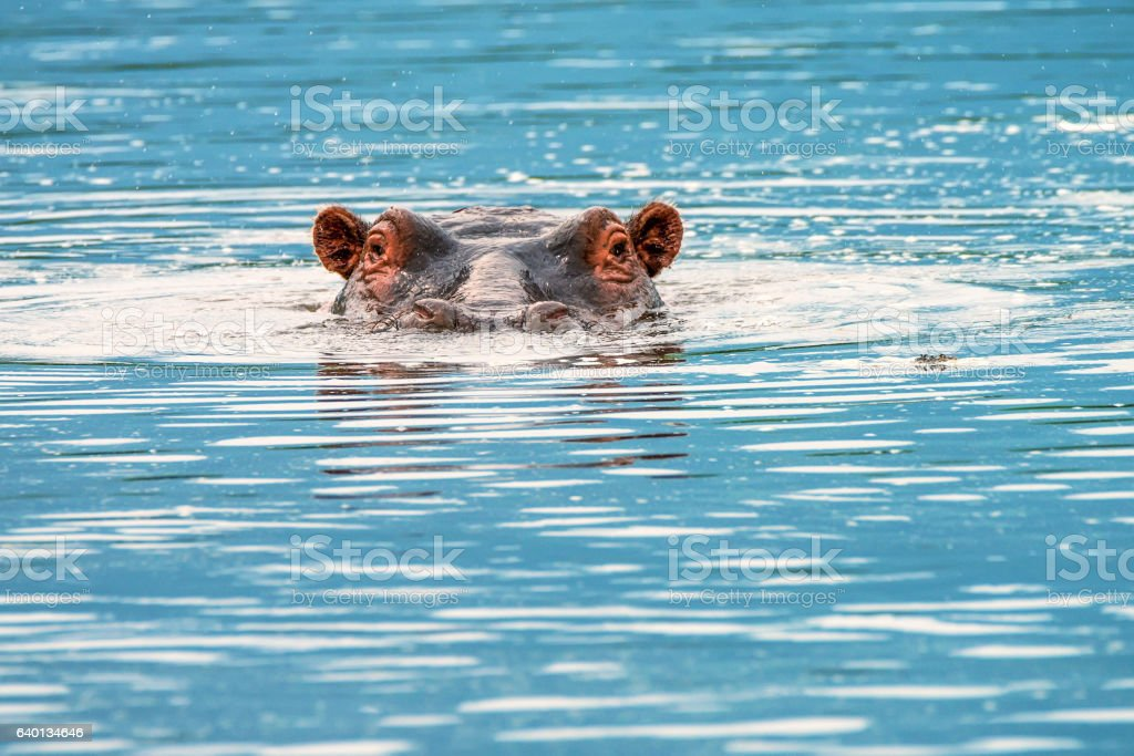 Close-up of hippo stock photo