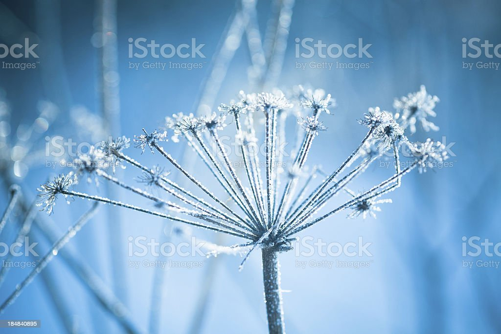 A close-up of hoarfrost on a plant royalty-free stock photo