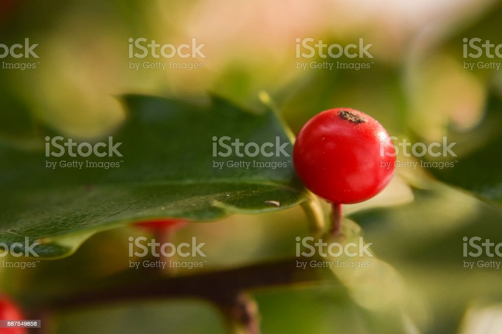 Close-up of Holly Berry and Leaf stock photo
