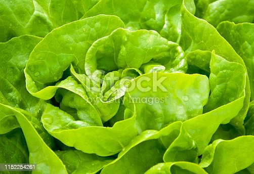 Close-up of homegrown organic green Lettuce
