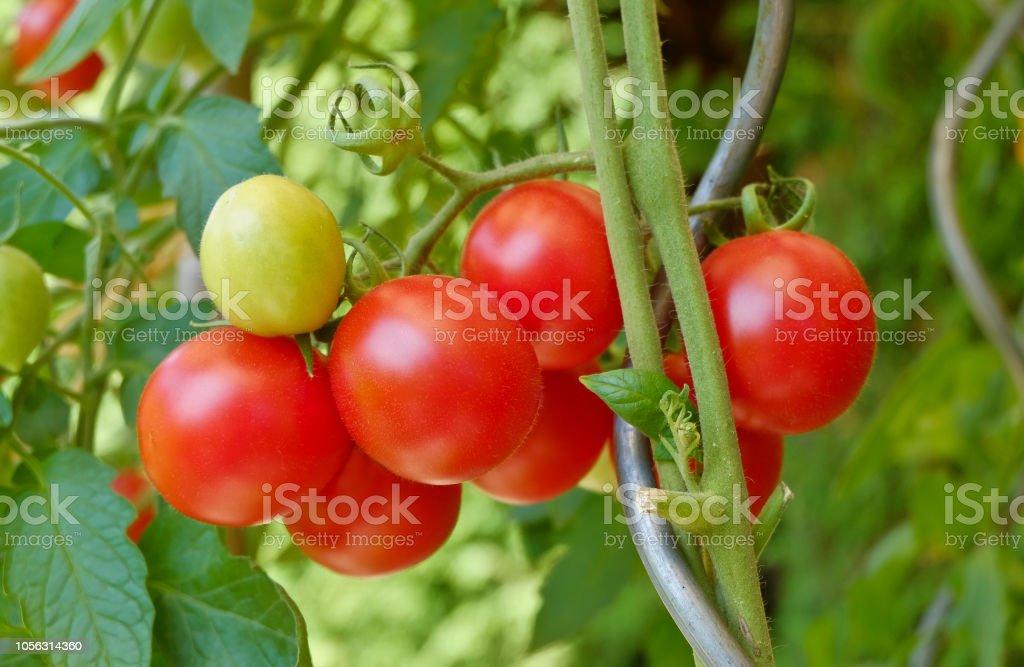Nahaufnahme der homegrown Bio Tomaten – Foto