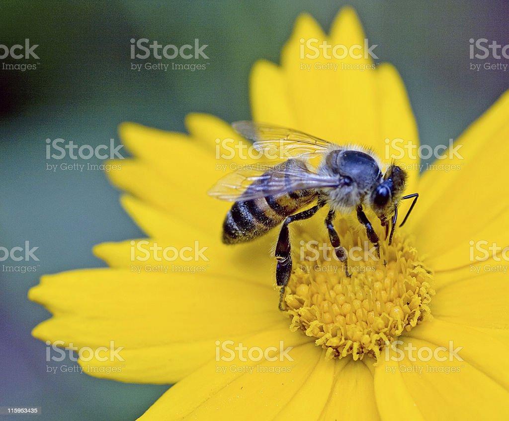 Closeup of honeybee pollinating yellow flower stock photo