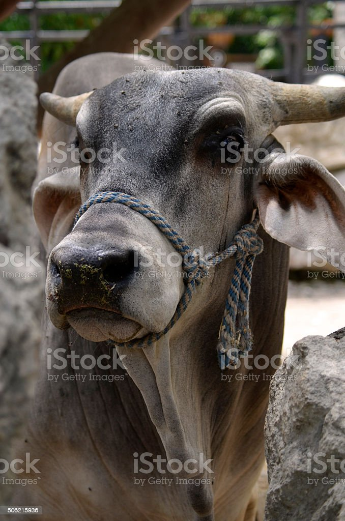 Close-up of Horned Brahman Cow stock photo