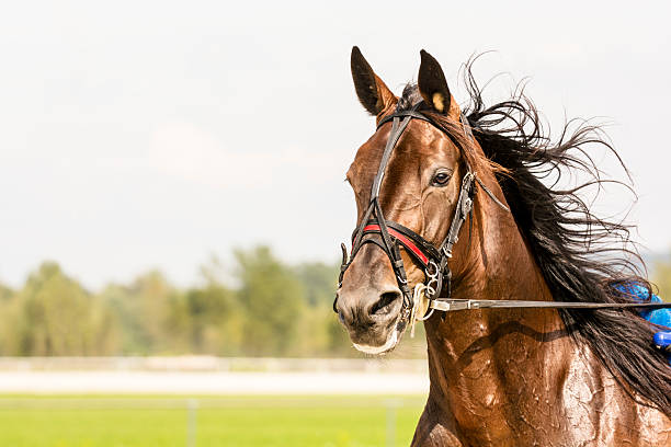 close-up of horse on harness racing - racehorse track bildbanksfoton och bilder
