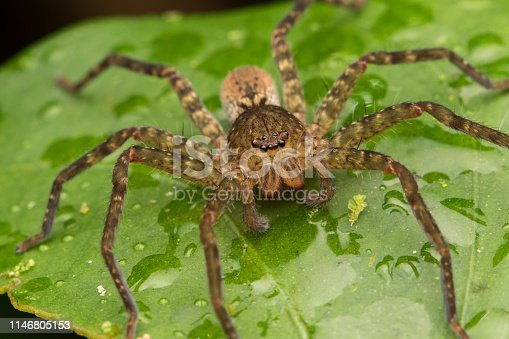 Close-up of Hunstman Spider on green Leaves , Beautiful Spider in Sabah, Borneo ( Selective Focus)