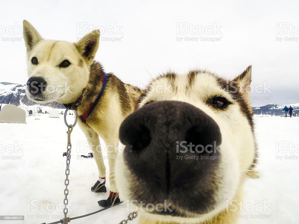 Closeup of husky sled dogs stock photo