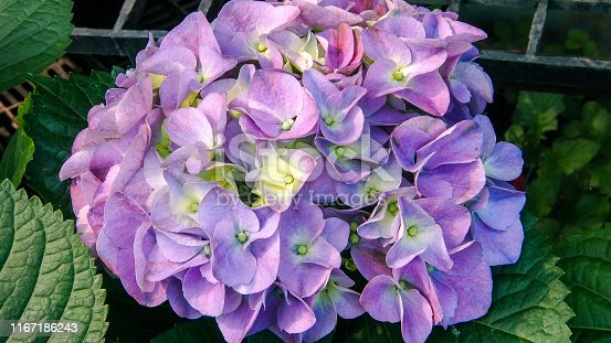 Close-Up Of Hydrangea in blooming