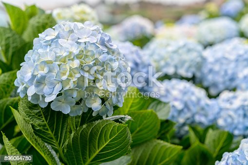Close-up of hydrangeas with hundreds of flowers blooming all the hills in the beautiful winter morning to see.