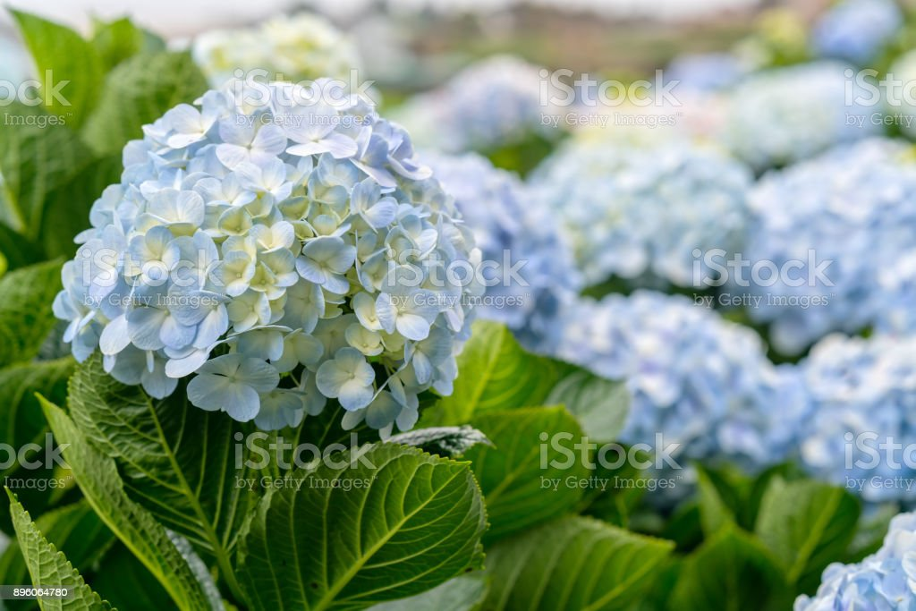Close-up of hydrangeas with hundreds of flowers blooming all the hills stock photo