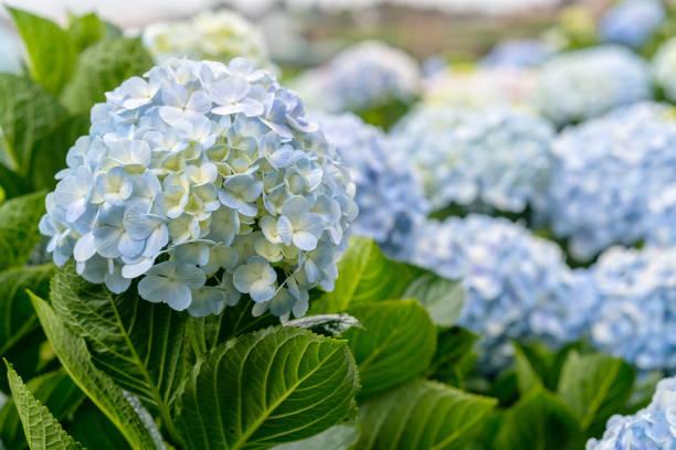 Nahaufnahme von Hortensien mit Hunderten von Blumen blühen alle Hügel – Foto