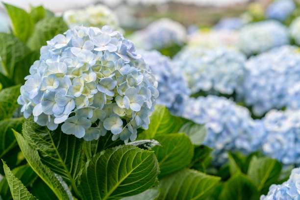 close-up of hydrangeas with hundreds of flowers blooming all the hills - hortensja zdjęcia i obrazy z banku zdjęć