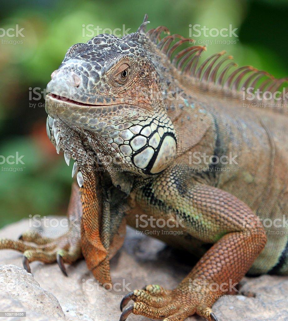Close-up of Iguana royalty-free stock photo