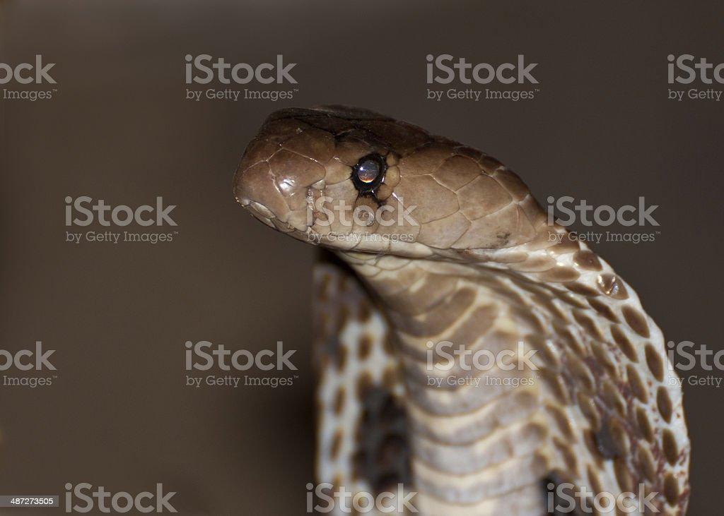 Closeup of Indian Cobra stock photo
