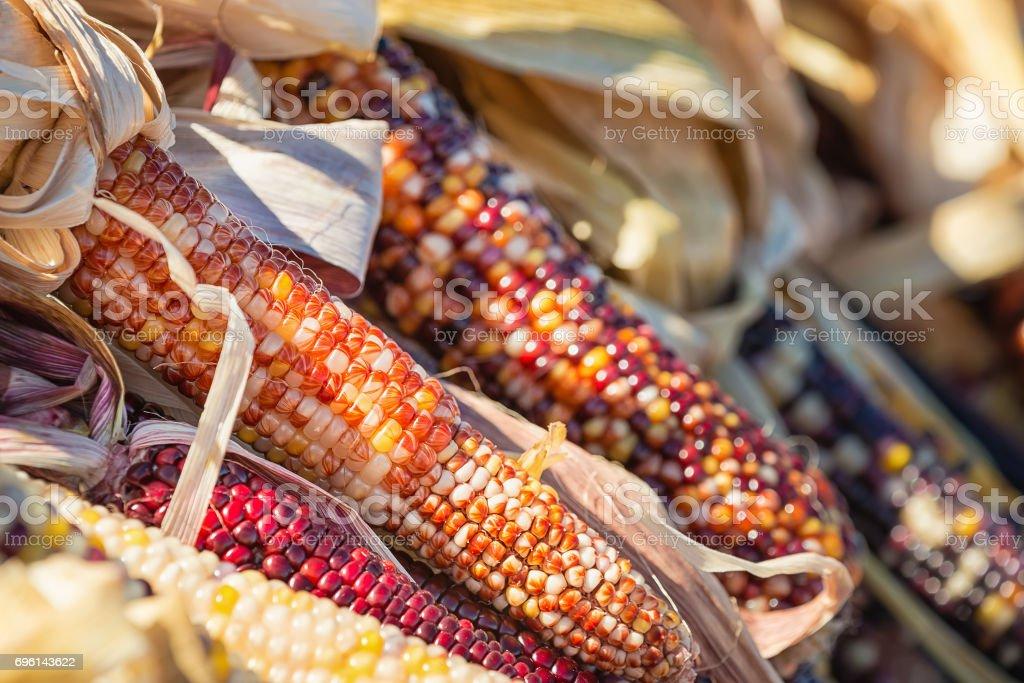 Closeup of Indian Corn in autumn stock photo
