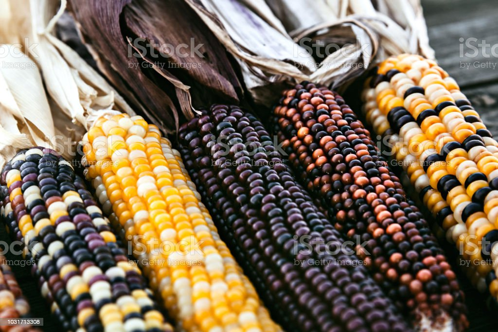 Closeup Of Indian Corn Stalks With Colorful Kernels stock photo