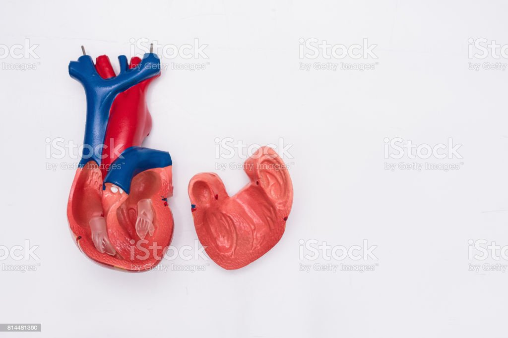 Closeup Of Internal Organs Dummy On White Background Human Anatomy ...