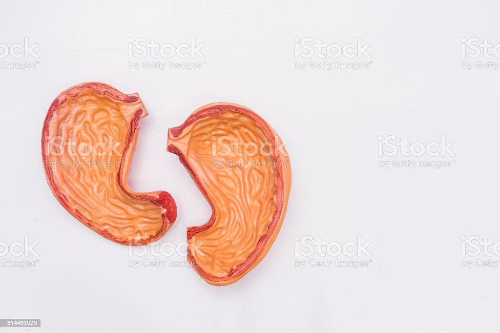 Close-up of Internal organs dummy on white background. Human anatomy model. Stomach Anatomy. stock photo