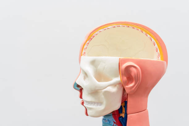 Close-up of Internal organs dummy on white background. Human anatomy model. Bones of the Skull. stock photo