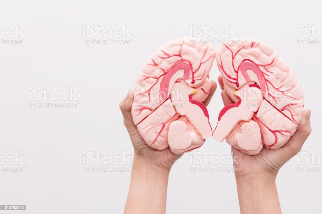 Closeup Of Internal Organs Dummy On White Background Human Anatomy