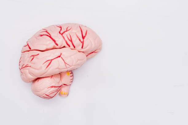 Close-up of Internal organs dummy on white background. Human anatomy model. Anatomy of the Brain. Close-up of Internal organs dummy on white background. Human anatomy model. Anatomy of the Brain. lateral ventricle stock pictures, royalty-free photos & images