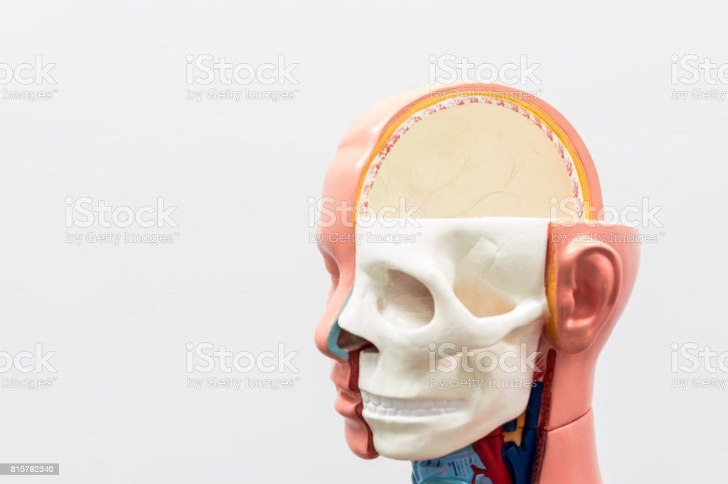 Closeup Der Inneren Organe Dummy Auf Weißem Hintergrund Menschliche ...