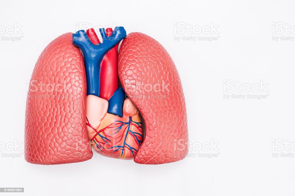 Close-up of Internal organs dummy on white background. Human anatomy model. Heart and Lungs Anatomy. stock photo