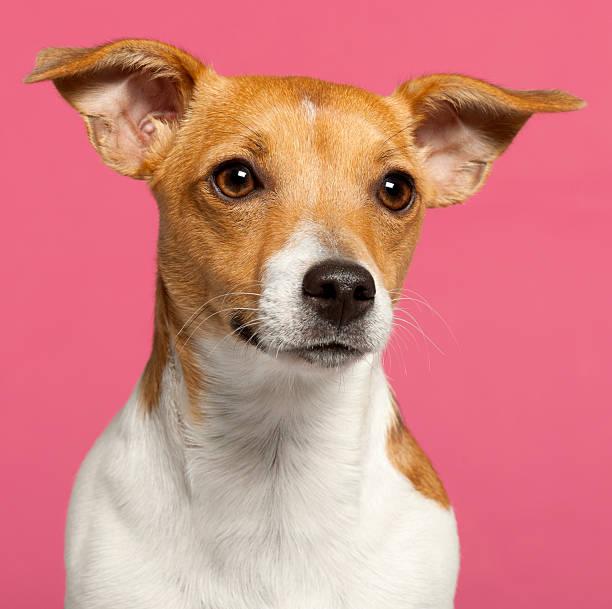 nahaufnahme von jack russell terrier, 10 monate alt, rosa hintergrund. - hundeplätze stock-fotos und bilder