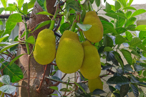 Close-up of jackfruits bunch hanging on a tree branch (Artocarpus Heterophyllus) stock photo