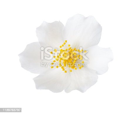 Close-up of Jasmine  flower (Philadelphus) isolated on white background.