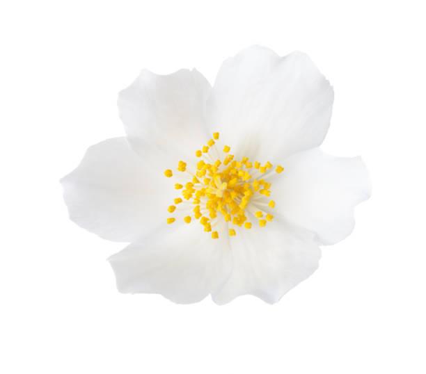 재 스민 꽃의 클로즈업 (philadelphus) 흰색 배경에 고립. - 재스민 뉴스 사진 이미지