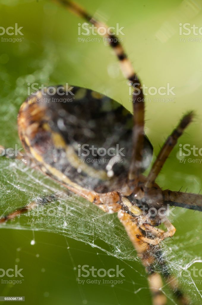 Close-up of jaws of a wasp spider in the web stock photo
