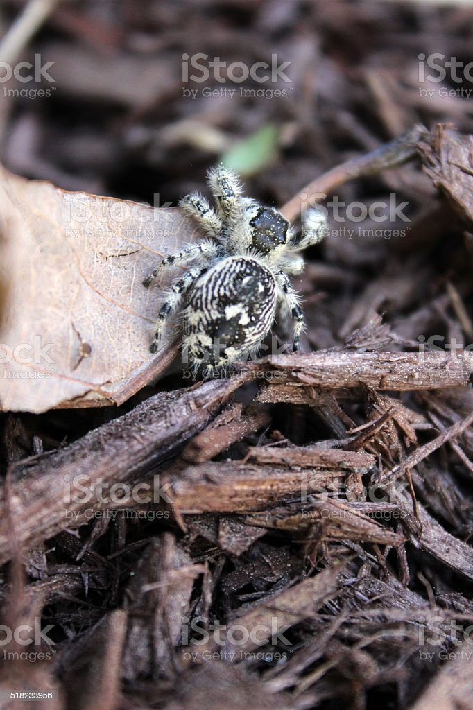 Closeup of Jumping Spider Climbing Over Mulch stock photo