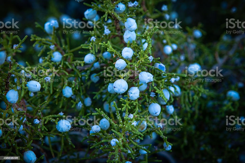 Close-Up of Juniperus Californica (California Juniper) Berries. stock photo