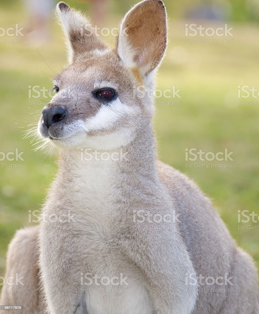 Close-up of kangaroo looking at camera. royalty-free stock photo