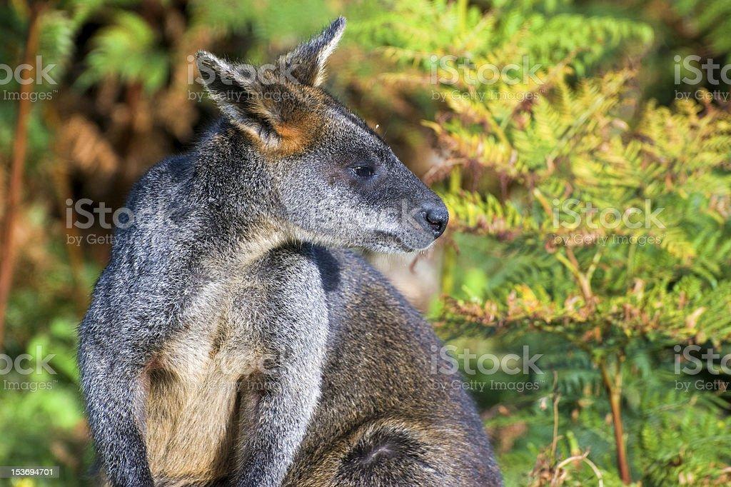 Close-up of Kangaroo (Red-necked Wallaby) stock photo