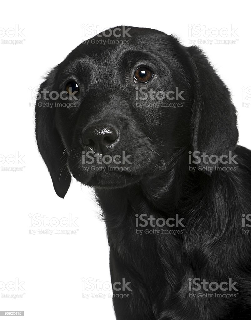 Close-up of Labrador puppy, looking away royalty-free stock photo