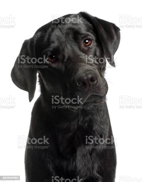 Closeup of labrador retriever 10 months old in front of white picture id855895982?b=1&k=6&m=855895982&s=612x612&h=tn1pu0qektnvu8fjwhmjb8t8pp otgkeewsowekm234=