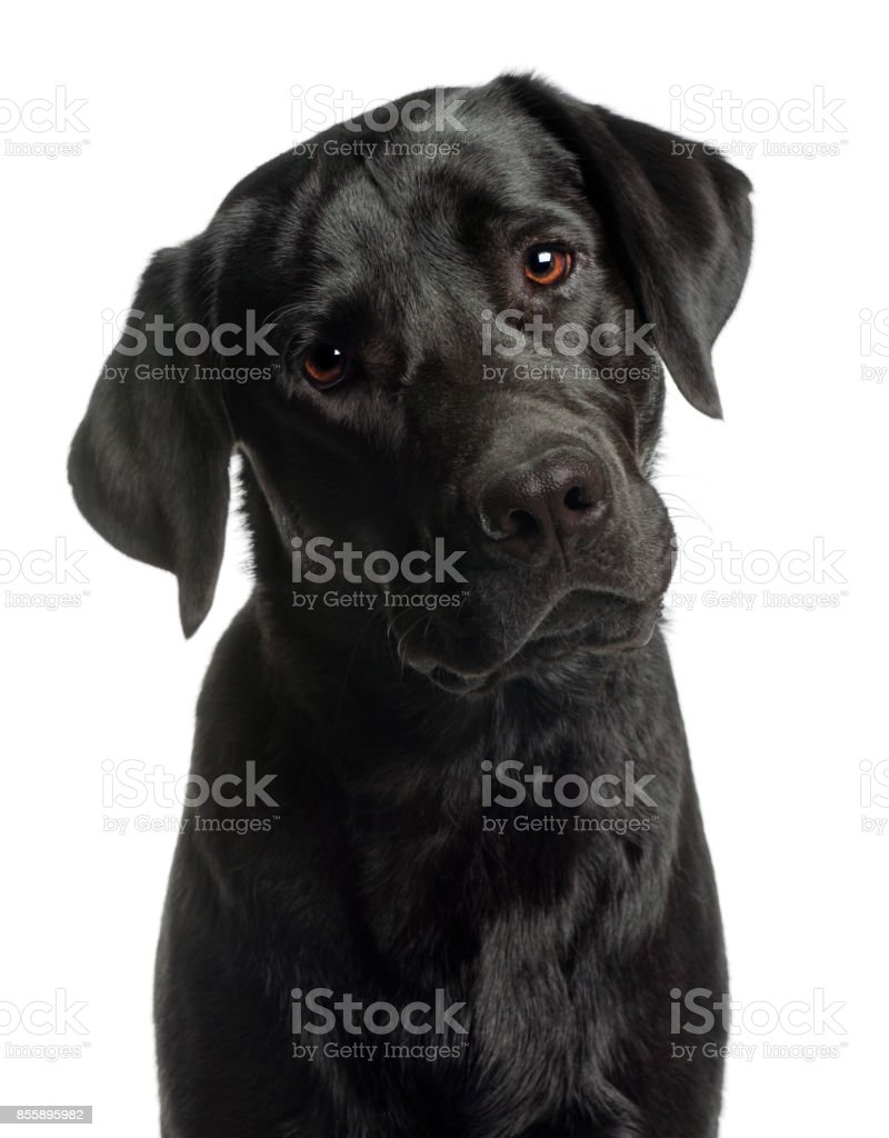 Close-up of Labrador Retriever, 10 months old, in front of white background stock photo