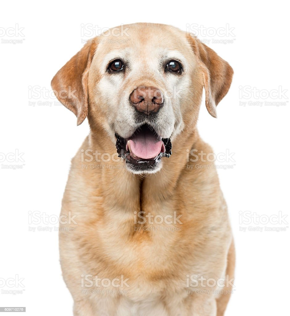 Close-up of Labrador Retriever, 11 years old, isolated on white stock photo