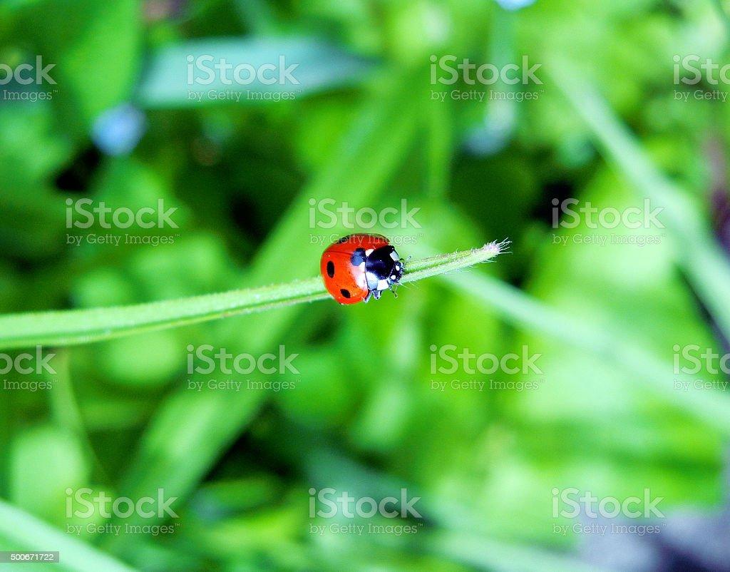 Closeup of Ladybug in Garden stock photo